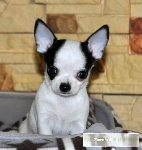 Chihuahua rodowodowe szczeniaczki FCI.