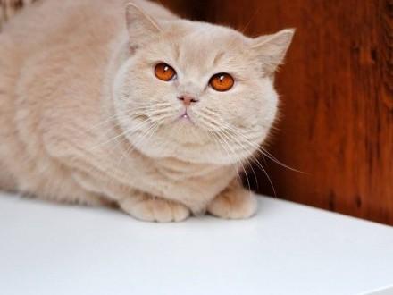 Cudowne koteczki brytyjskie !