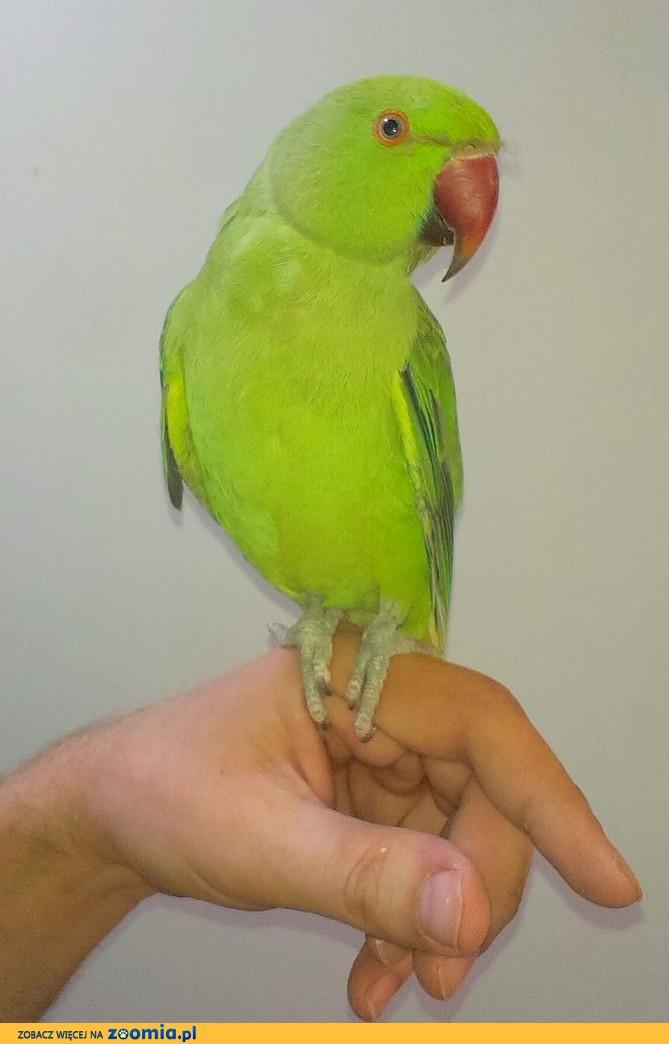 Papuga aleksandra obrożna