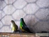 Sprzedam papugi faliste, nimfy świergoty.