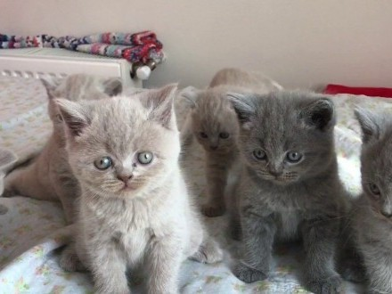 koty brytyjskie krótkowłose
