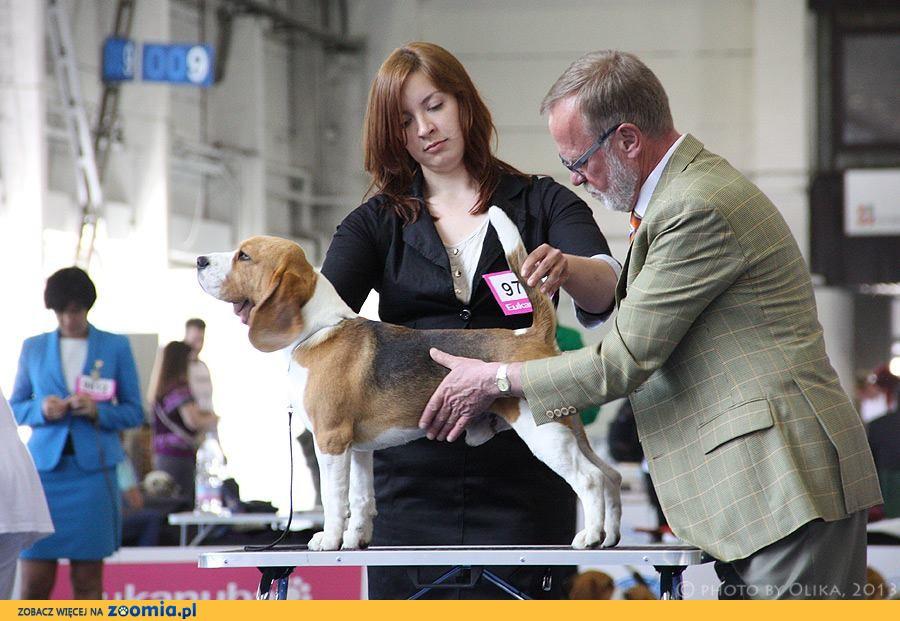Beagle importowany  reproduktor