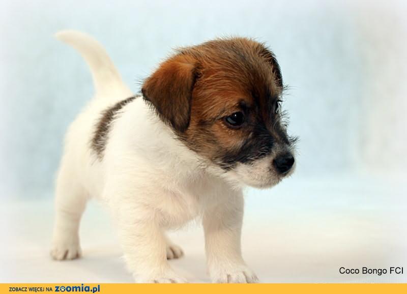 Jack Russell Terrier - biało- brązowy piesek FCI