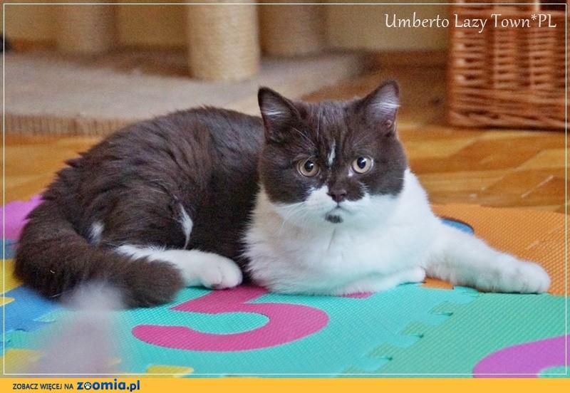 Wspaniały kot brytyjski rodowód WCF