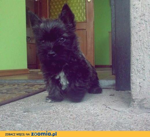 Sprzedam wesołe szczenięta rasy Cairn Terrier!,  wielkopolskie Konin