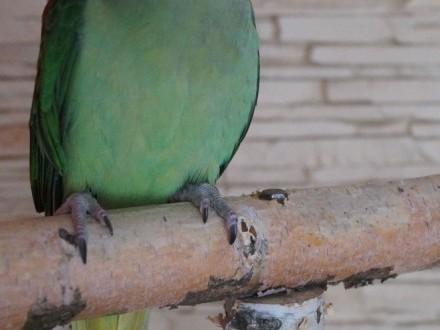 Ptaki Papuga Papugi egzotyczne Aleksandretta Wielka badania DNA