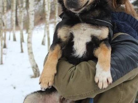 Monte- młody  mały psiak z krótkim ogonkiem czeka na dom