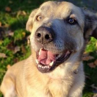 Mafin - duży  wesoły  uroczy pies pragnie zamieszkać w domu