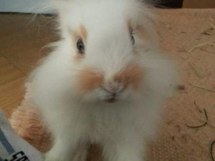 Do adopcji króliki miniaturki samiec i samica 4msc   dolnośląskie Jelcz-Laskowice