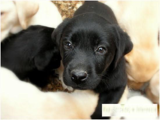 Szczenięta rasowe - rasa Labrador Retriever