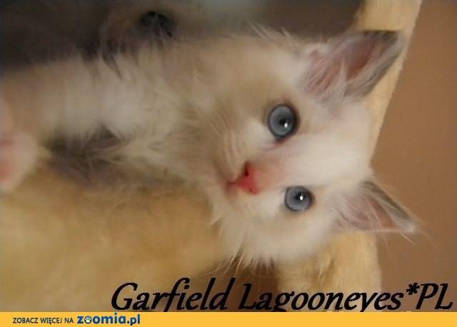 Kociaki Ragdoll po InterChampionach już gotowe do zmiany domu !