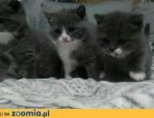 Sprzedam kota brytyjski krótkowłosy niebieski biały ,  dolnośląskie Lubin