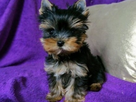 York, Yorkshire Terrier ZKwP FCI malutkie, śliczne laleczki,  śląskie Katowice