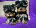 'York, Yorkshire Terrier ZKwP FCI malutkie, śliczne laleczki,  śląskie Katowice