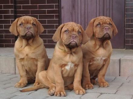 Dog de Bordeaux Dogue Mastif - szczenięta rodowodowe ZKwP / FCI  Iwonicz-Zdrój
