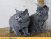 Piękne Rosyjskie Niebieskie Kocięta Gotowe