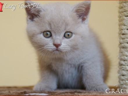 Płowa kotka brytyjska – kocięta brytyjskie – rodowód WCF