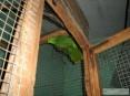 Papuga Czerwonoskrzydła
