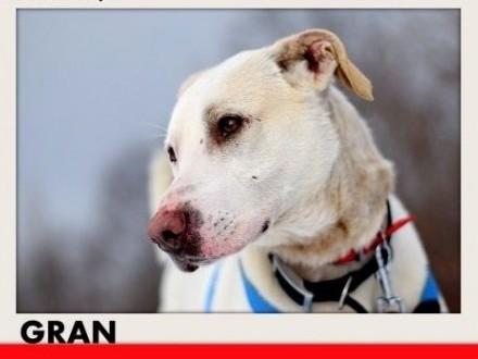 GRAN duży przyjazny spokojny pies indywidualistaADOPCJA   śląskie Katowice