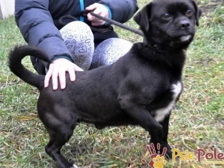 KOKEREK- spokojny  pogodny  przyjazny młody psiak o mięciutkiej sierści  adopcja