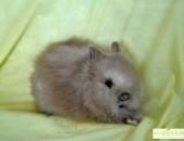 królik teddy