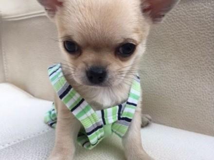 Chihuahua miniaturka   rodowód ZKwP/FCI  urocze szczeniaczki  szczeniaczek  szczeniak   Chihuahua cała Polska