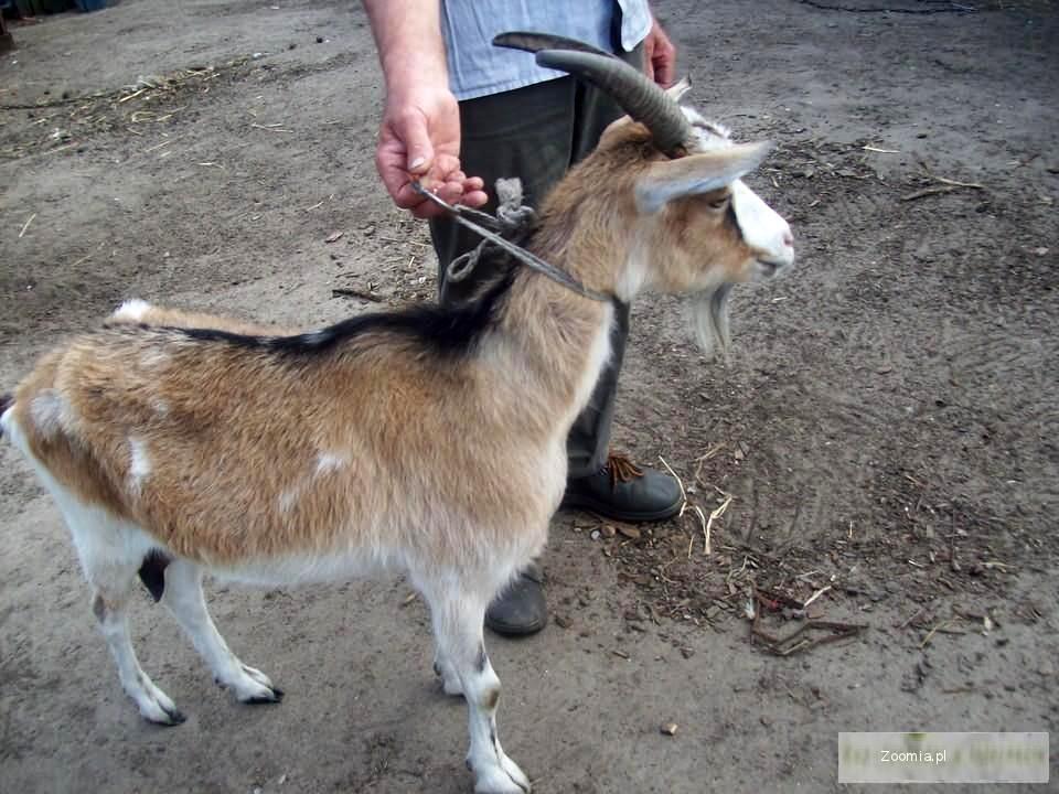 Sprzedam kozy mleczne