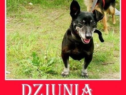 Starsza suczka jamnik mix przyjazna towarzyska DZIUNIA prosi o domekAdopcja   małopolskie Kraków