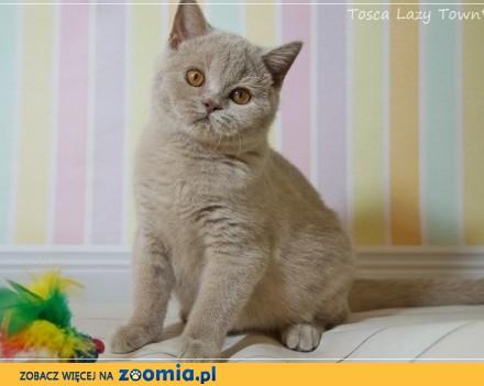 Tosca - śliczna kotka brytyjska rodowód WCF