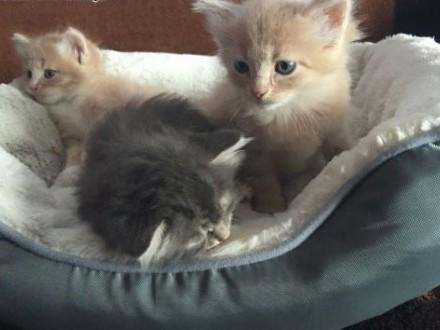 Koty syberyjskie   łódzkie Łowicz