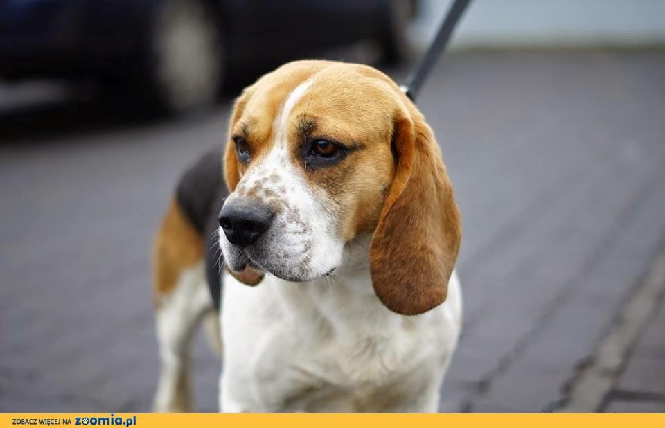 Sympatyczny i łagodny beagle Kleks szuka domu