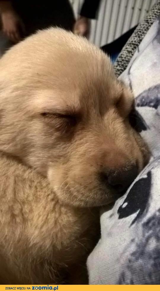 Barney - biszkoptowy szczeniak labradora szuka domku