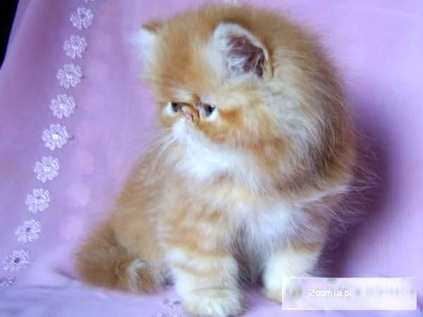 Ruda kotka perska z rodowodem - Śląsk