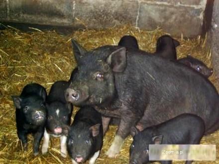 Młode Świnki Witnamskie