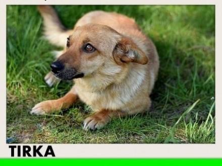TIRKA mała suczka krótkie łapki łagodna domowa spokojnaADOPCJA   małopolskie Kraków