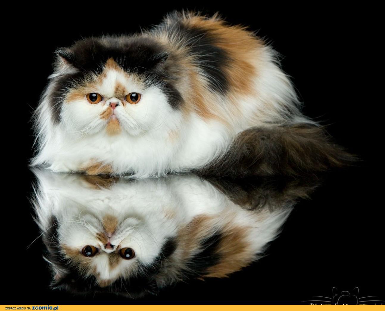 Kocięta rasy kot egzotyczny