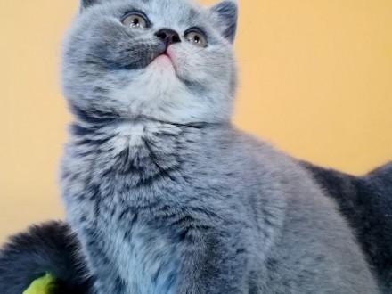 Urocza Lily koteczka brytyjska