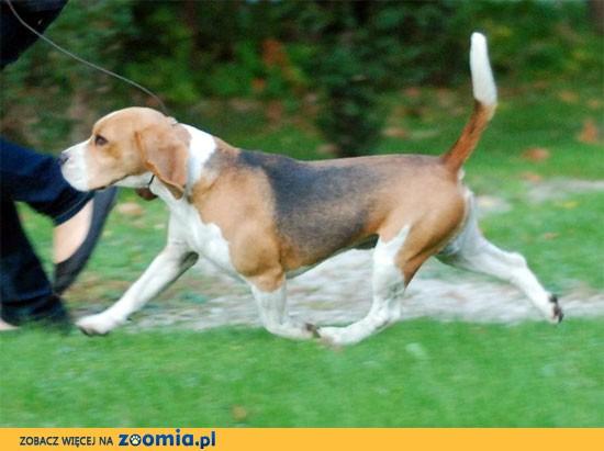 Beagle reproduktor syn Zwyciezcy SWIATA