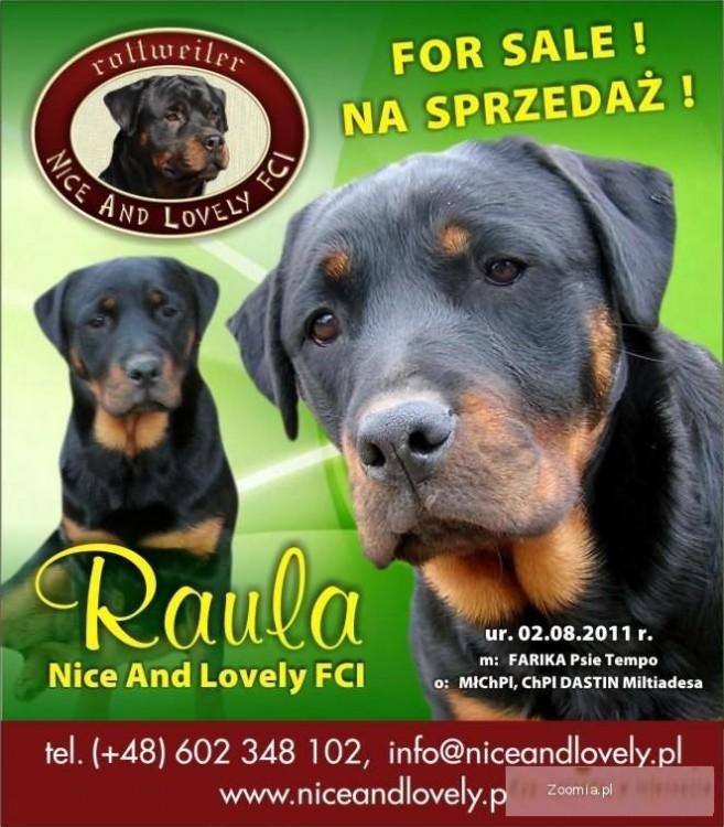 Rottweiler - suczka 8msc z rodowodem