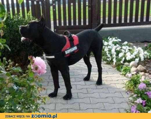 Zaktualizowano Ogłoszenia: oddam psa, oddam szczeniaka Cane Corso pl 1 IL46