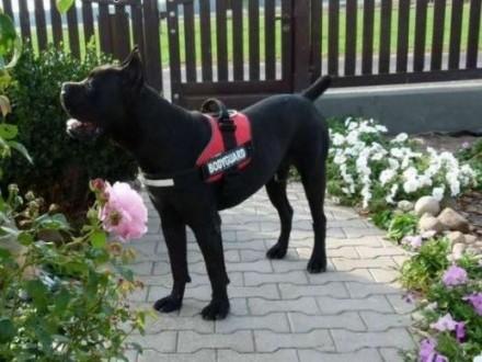 Cane Corso-do adopcji 4 psy w potrzebie   wielkopolskie Gniezno