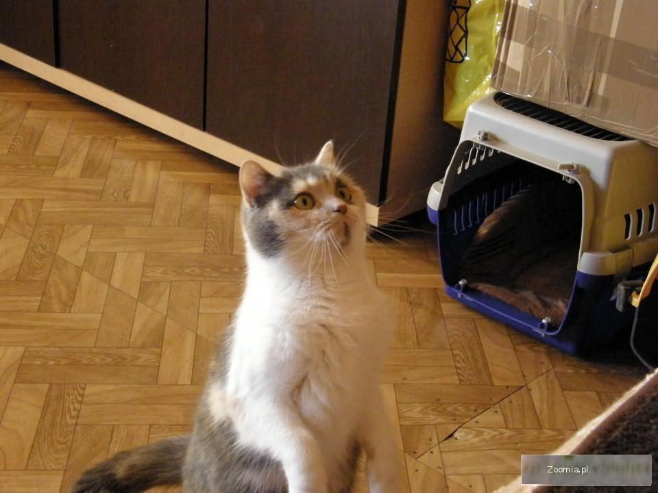 Likwidacja hodowli - Dorosła kotka Brytyjska Niebieska - Okazaja