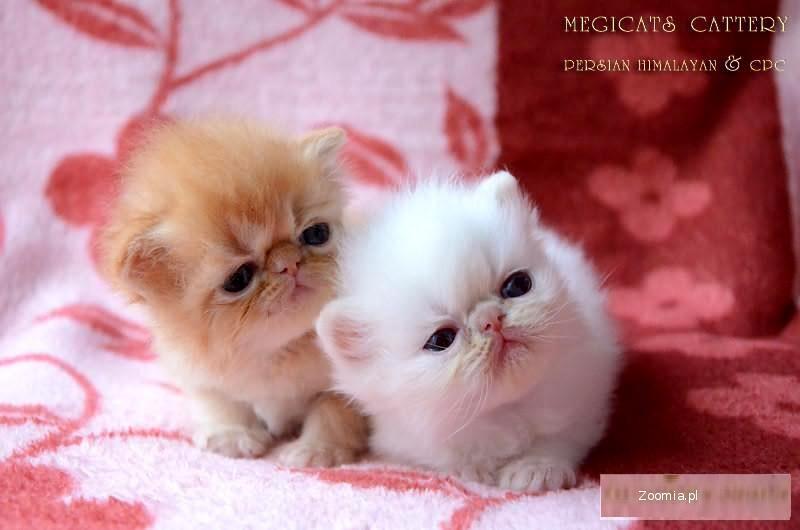 Wspaniały Kot Perski Bia³y Cena BM32