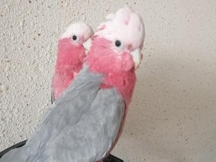 Papugi Kakadu Różowe Piękne