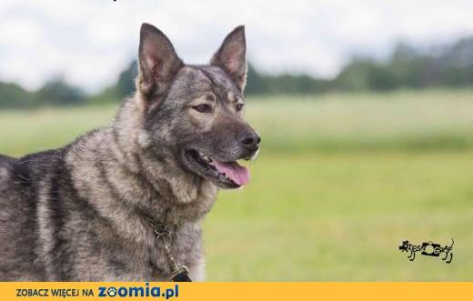 Młoda Kira, cudna, wesoła wilczyca szuka domu!,  Kundelki cała Polska