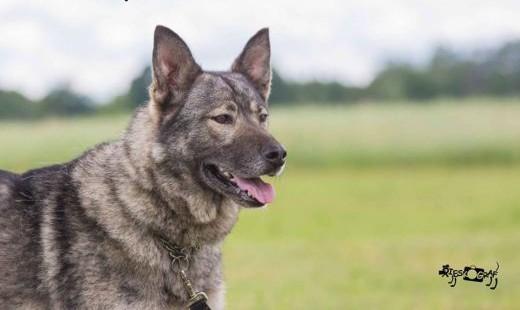 Młoda Kira  cudna  wesoła wilczyca szuka domu!   Kundelki cała Polska