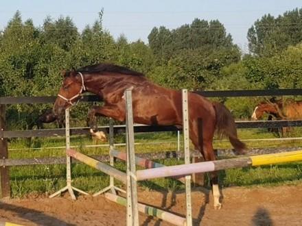 Szukam konia sportowego do współdzierżawy z możliwością przeniesienia