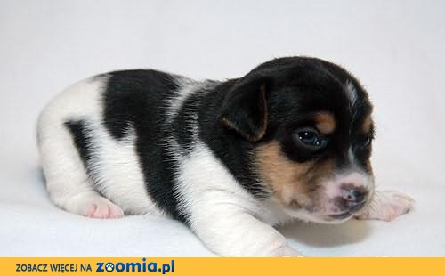 Jack Russell Terrier z Łatkowego Klanu - Amor