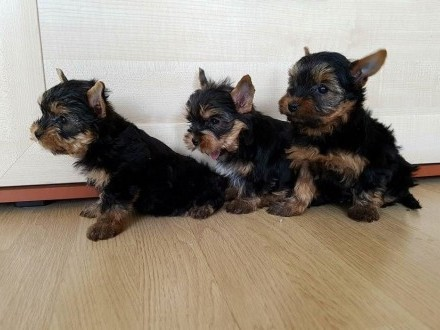 Yorkshire Terrier ZKwP- FCI