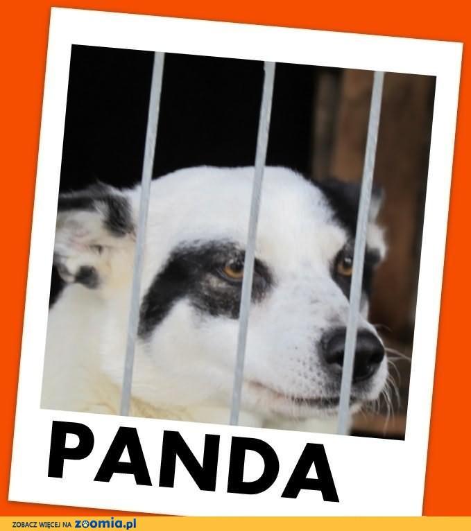PANDA-uratowana,przywiązana drutem w lesie,ufna,przyjazna.ADOPCJA